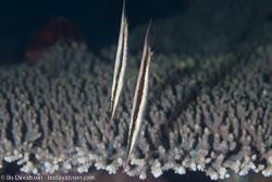 BD-161024-Pura-2554-Aeoliscus-strigatus-(Günther.-1861)-[Razorfish.-Bajonettfisk].jpg